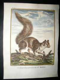 Sonnerat India 1782 Antique Hand Col Print. Great Squirrel of Malabar Coast